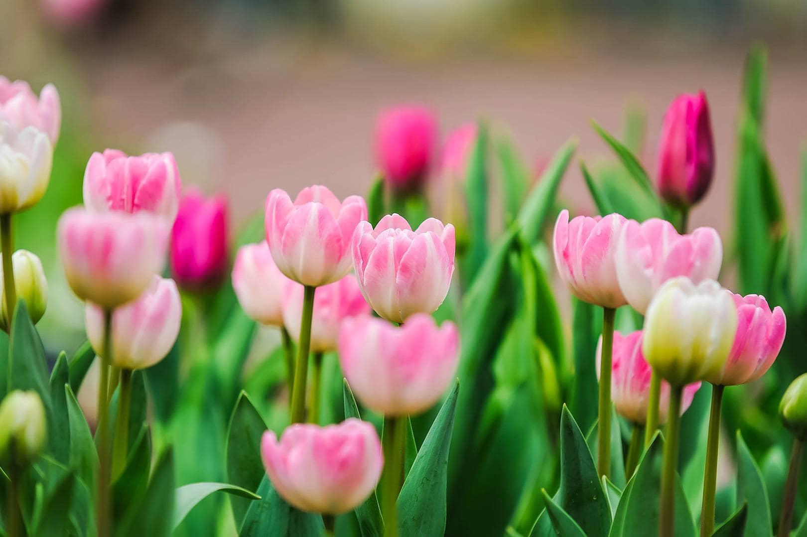 Free-Lightroom-Preset-Pink-Tulips-After