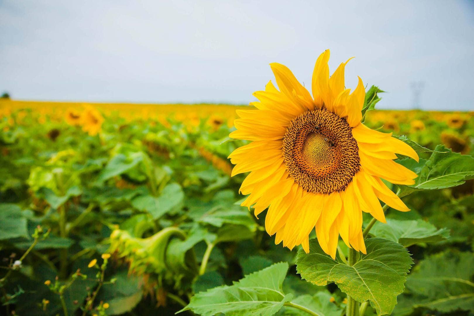 Free-Lightroom-Preset-Sunflower-After