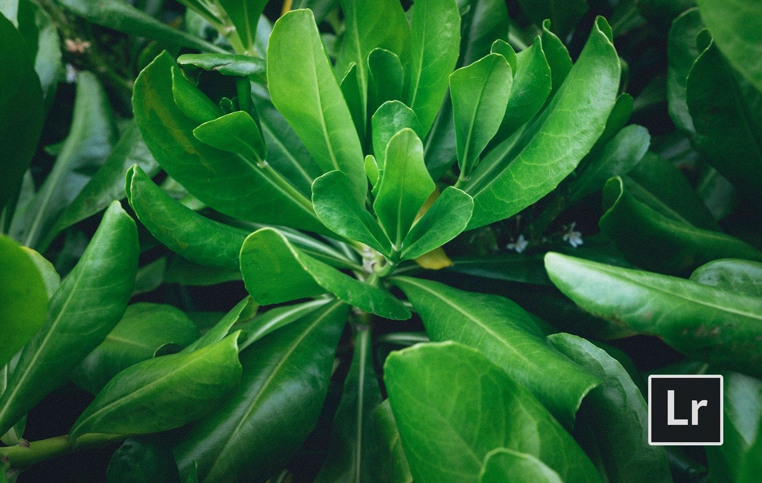 Free-Lightroom-Preset-Banana-Leaf-Before-and-After-Presetpro.com